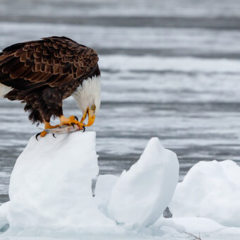 Eagles and New Hampshire's Lakes Photo by Jack Dorsey