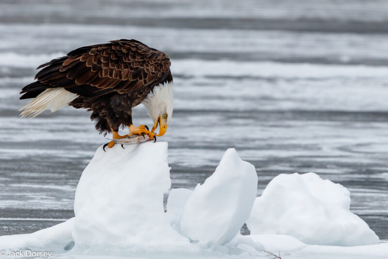 Female Eagle by Jack Dorsey