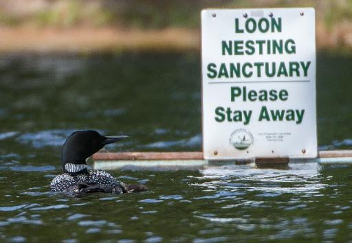 Loon nesting sanctuary