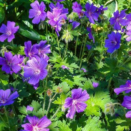 Native Plants for New England Rain Gardens