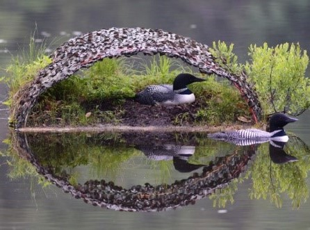 Photo courtesy of the Loon Preservation Committee 1