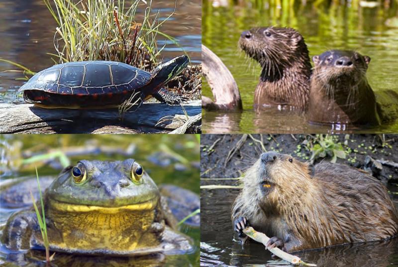 beaver otter frog turtle